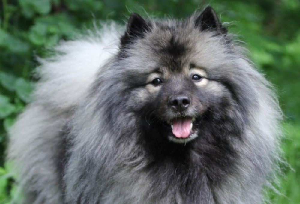 http://keeshond-kennel.com/public/images/photo/diva91.jpg