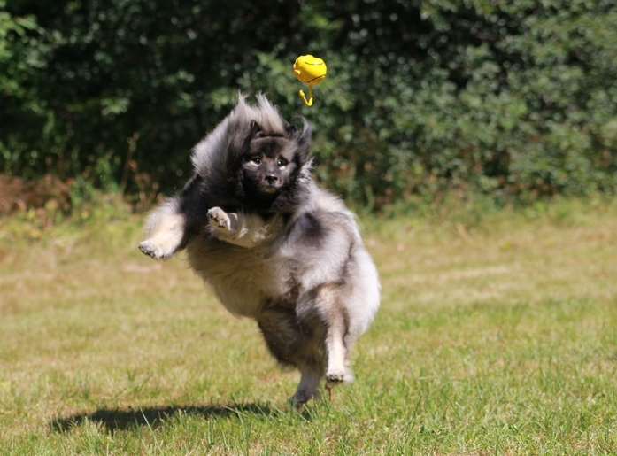 http://keeshond-kennel.com/public/images/photo/diva96.jpg